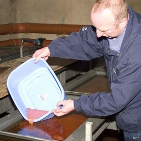 putting-fertilised-eggs-into-the-development-tank-trays